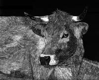 Scratchboard Cow Portrait