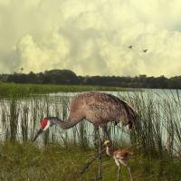 Florida Sandhill Crane with Baby by I.M. Spadecaller
