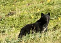 Mother Black Bear