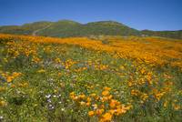 The Wonders of Walker Canyon Superbloom