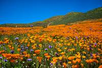 Vivid Memories of the Walker Canyon Superbloom