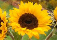 sunflower_DSC2378