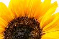 sunflower_DSC0854