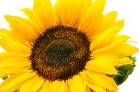 sunflower2_DSC0851