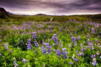 Lupine Filled Meadow