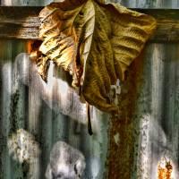 HANGING BROWN LEAF STILL LIFE, 25JULY17, EDIT B Art Prints & Posters by Nawfal Johnson Nur