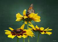 Black-eyed-Susan and Monarch