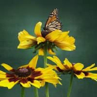 Black-eyed-Susan and Monarch  by I.M. Spadecaller