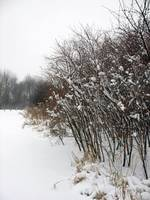 Snowy Brush
