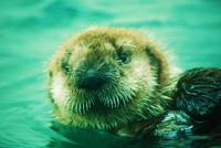 Sea Otter Smile