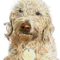 Labradoodle Ginger Art Prints & Posters by Yvonne Carter