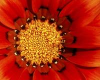 Close up of a red flower with yellow centre.