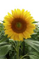 One yellow sunflower with green leaves.