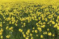 Field of bright yellow colored Narcissus flowers.
