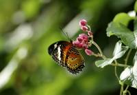 Black orange butterfly eating nectar from flower.