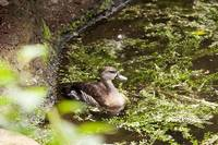 Brown female duck swimming on a pond.