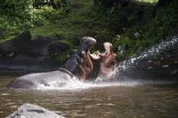 Two hippos fighting with mouth wide open in river.