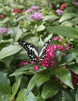 Black white red colored butterfly on pink flower.