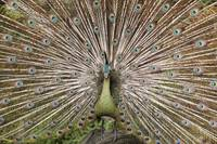 Peacock opening showing colorful feathers.