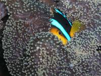 Clownfish eye Palau