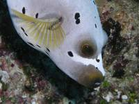 Dogfaced puffer