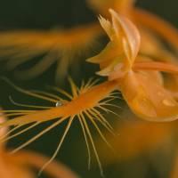 Orange Fringed Orchids Art Prints & Posters by Julie Andel