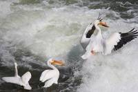 Whitewater Pelicans