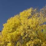 """""""gold an blue"""" by ddamredhead"""