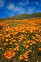 Orange Bliss - California Superbloom 2017