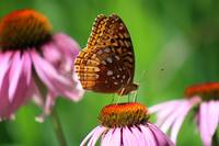 Great Spangled Fritillary in July