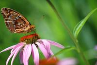 Balancing Great Spangled Fritillary Butterfly