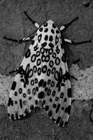 Giant Leopard Moth Black and White