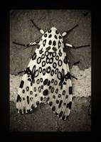 Giant Leopard Moth Black and White Border