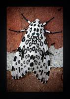 Giant Leopard Moth Dark Edge