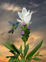 Hummingbird and Curcuma Flower