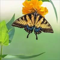Tiger Swallowtail Art Prints & Posters by Glenda Borchelt