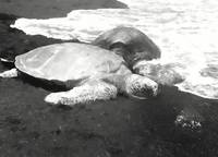 Sea Turtles #2