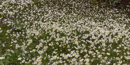 Meadow_Daisey_Wildflowers_Panorama-1
