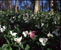halls's Creek row of trillium z