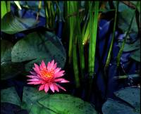 pink water lily and reeds z