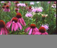 purple cone flower z