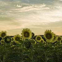 Sunflowers at Sunset Art Prints & Posters by Louise Reeves