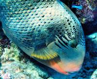 Yellowmargin Triggerfish EatingwCleanerLooking17-D