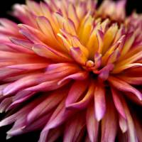 Incandescent Dahlia Art Prints & Posters by Jessica Jenney