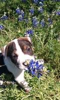Puppy In The Bluebonnets