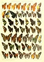 Vintage Butterfly Species Diagram