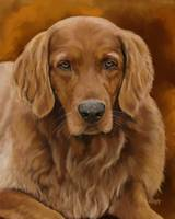 Tucker - Golden Retriever