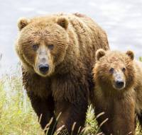 Mom Kodiak Bear And Her Baby