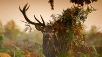 Buck Deer In The Forest, England