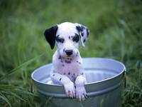 Adorable Dalmatian Puppy